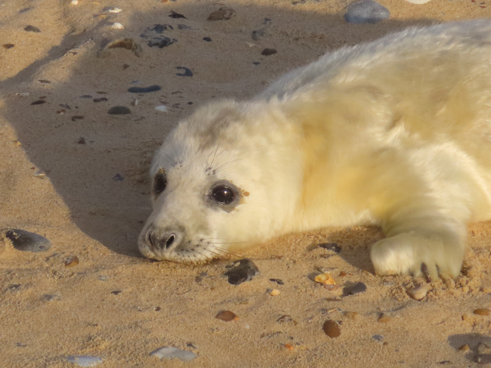 Shows grey seal pup on the sandy beach