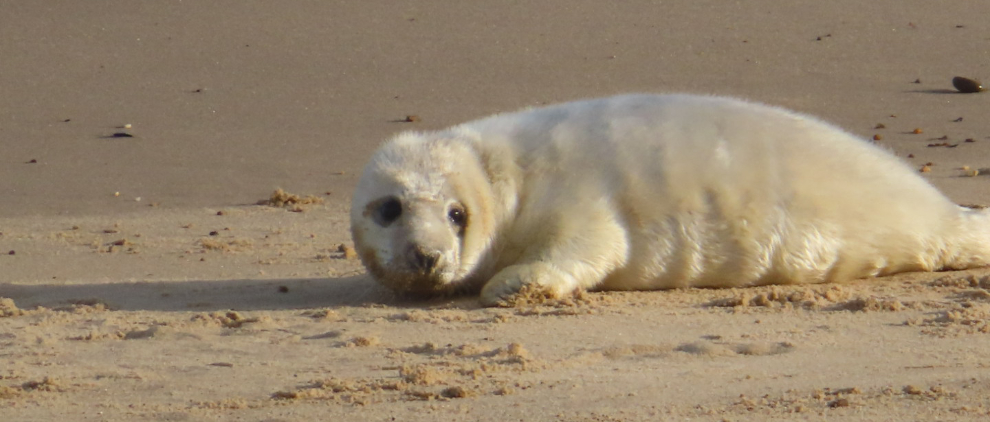 Shows grey seal pup in its white coat on the sand