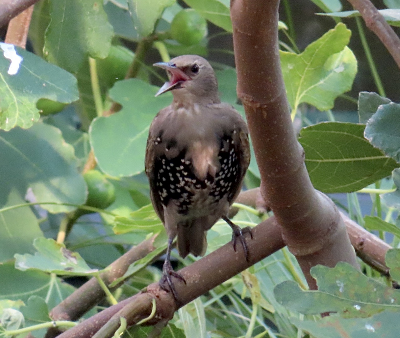 Starling in a fig tree, London