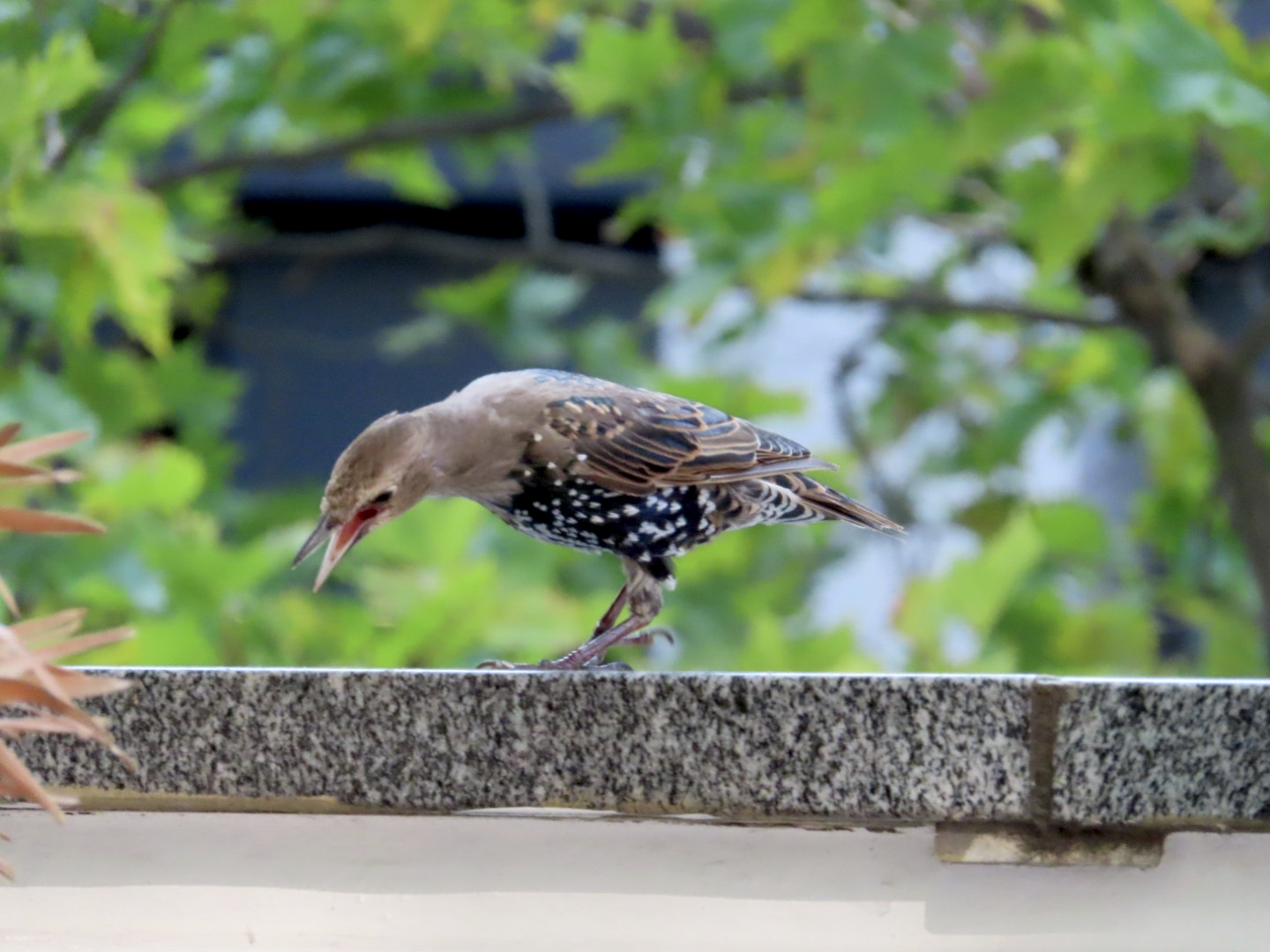 Photo: Lesley Scoble | Starling near St Pauls, London