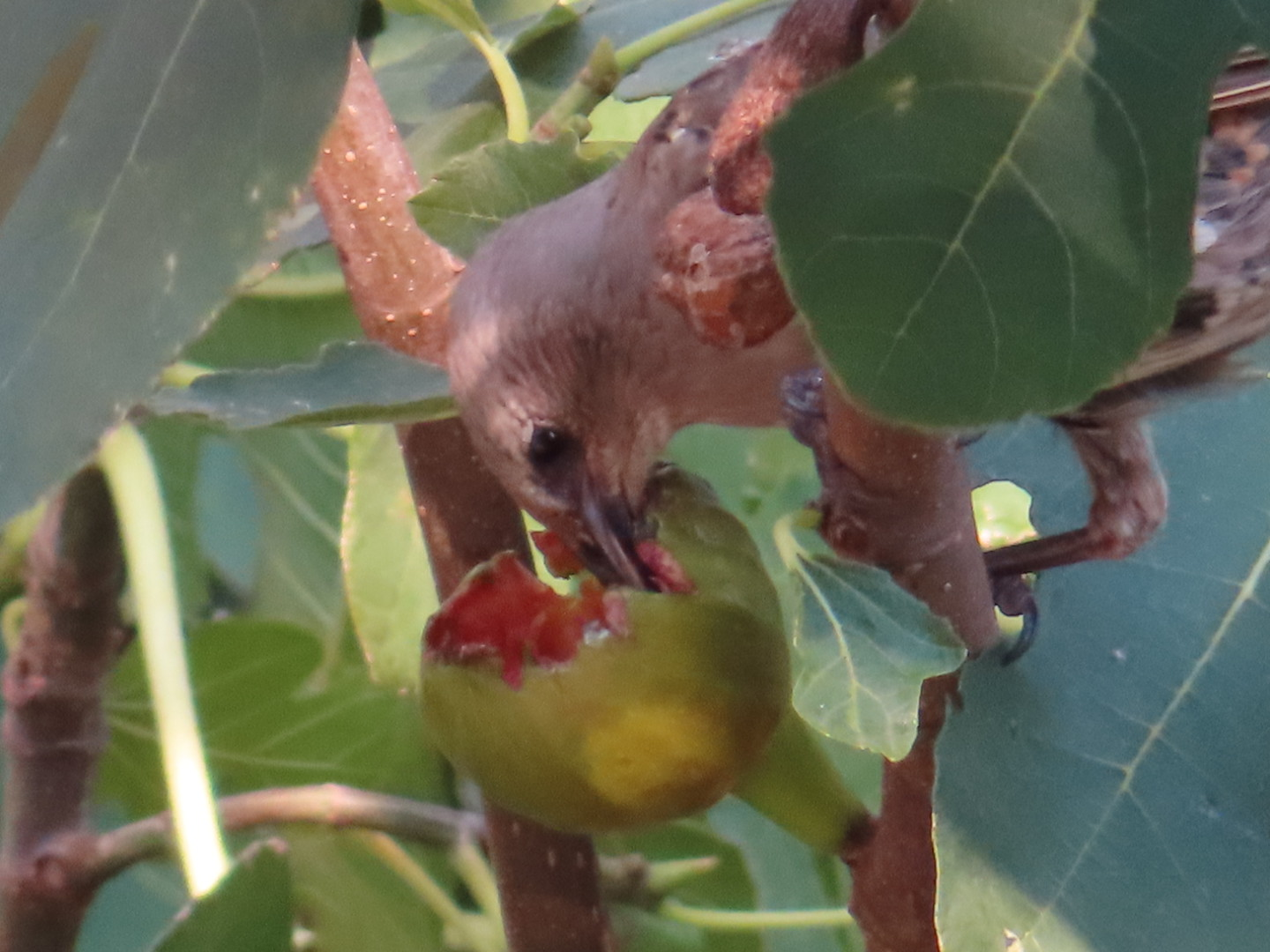 Starling eating a ripe fig