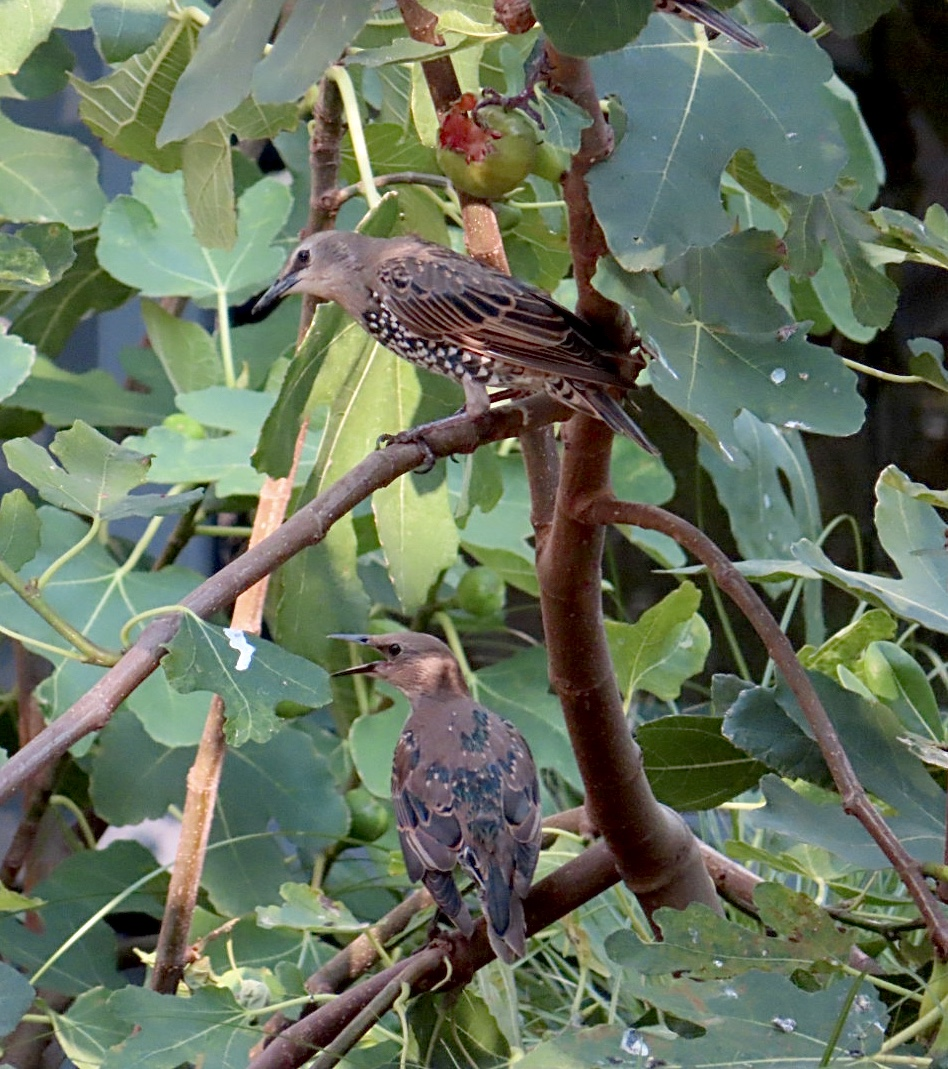 Starlings eating ripe figs in London
